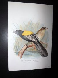 Frohawk & Butler 1899 Antique Bird Print. Yellow Backed Whydah